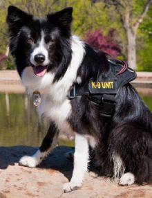 Sage, 2011 Hero Dog Awards winner - Search and Rescue Dog