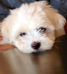 Sweet Coton de Tulear puppy.