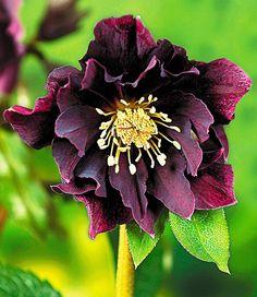 Gefüllte Christrose 'Black Swan',1 Pflanze jetzt günstig in Ihrem MEIN SCHÖNER GARTEN - Gartencenter schnell und bequem online bestellen.