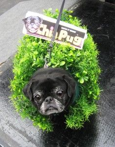 """Oh my gosh! This is going to be Sandi's halloween costume this year...only the sign will say """"Chia-huahua""""!!!"""