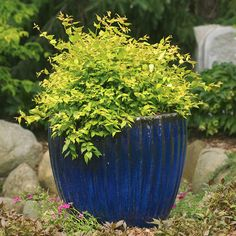 This beautybush with bronze-flushed golden foliage will look great from spring to fall. More colorful shrubs: http://www.bhg.com/gardening/trees-shrubs-vines/shrubs/colorful-shrubs-for-your-garden/?socsrc=bhgpin070403beautybush=17