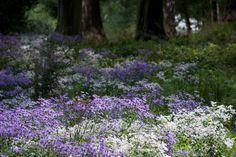 Blue Aster macrophyllus 'Twilight' and white Aster divaricatus in the new woodland garden  Nigel Dunnett (@NigelDunnett) | Twitter