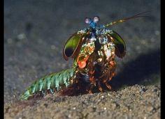 A lovely, colorful mantis shrimp