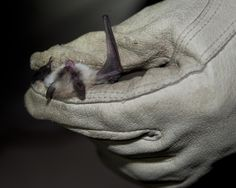 The California Myotis, Myotis californicus, is a species of vesper bat. They have pale, dull fur, a small foot, short forearm, and a relatively long tail. Their ears are medium sized—extending slightly beyond their snout when laid forward. They are inhabitants of wooded canyons, open deciduous and coniferous forests, and brushy hillsides. They can be found in in British Columbia in Canada, Guatemala, Mexico, and western United States.
