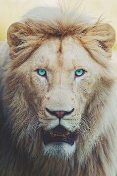 99 потрясающих портретов животных, лев