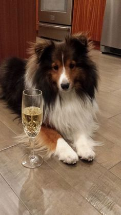 Sheltie Sunday for 35 Photos of Shetland Sheepdogs. Check out our weekly posts of Samoyed and Shetland Sheepdogs always a good time. Rough Collie, Collie Dog, Mini Collie, I Love Dogs, Cute Dogs, Dog Dna Test, Best Dog Names, Sweet Dogs, Shetland Sheepdog Puppies