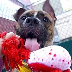 Pictures of LYRIC a Pit Bull Terrier for adoption in New York, NY who needs a loving home.