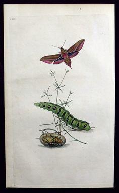 1797 E. Donovan ELEPHANT SPHINX Moth by AntiqueORIGINALS on Etsy