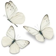 Photo about Three white butterfly, isolated on white background. Image of open, view, american - 54289125 White Butterfly Tattoo, Butterfly Drawing, Butterfly Painting, Butterfly Watercolor, Butterfly Wallpaper, Pink Butterfly, Butterflies, Borboleta Tattoo, Ring Finger Tattoos