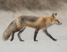 beautiful-wildlife: Photo Series | Red Fox in Snowstorm   Images...