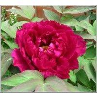 Boom pioenroos Rood (Paeonia suffruticosa rood)