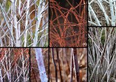 Species of Rubus for winter decoration with amazing coloured stems.  1 - Rubus tibetannus, 2 - Rubus tibetanus Bramble, 3 - Rubus occidentalis, 4 - Rubus phoenicolasius, 5 - Rubus saxatilis, 6 - Rubus biflorus, 7 - Rubus cockburnianus Goldenvale.