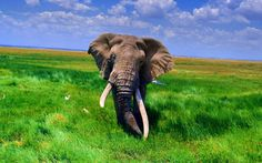 Image detail for -Animals, Africa's largest animals: elephants, African Animals Elephant . Wild Elephant, Asian Elephant, Elephant Love, Elephant Wallpaper, Animal Wallpaper, White Wallpaper, Elephant Pictures, Animal Pictures, Elephant Black And White