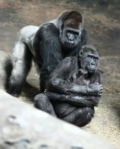 baby gorilla born at Pittsburgh zoo, with mom and dad