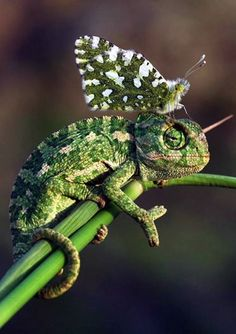 Mother Nature proves to be the greatest color matching system through this camouflaged  color-co-ordinated duo sporting identical shades  of green: a green chameleon and an Eastern  Dappled White butterfly