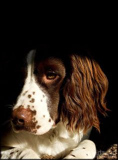 Beautiful springer spaniel.