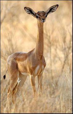 A Type of Longneck Antelope