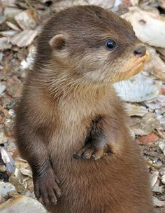 i have always wanted a pet otter. i have a collection of otter stuffed animals from forever ago Baby Animals, Funny Animals, Cute Animals, Otters Funny, Wild Animals, Baby Giraffes, Otters Cute, Otter Pup, Otter Love