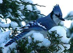 geai bleu en hiver