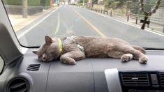 Enjoy the drive❣️ ドライブ好き❣️ 心地よい揺れだにゃ ♡⃛ lull a cat to sleep...zzz Gifu, Cat Breeds, Sleep, Cats, Cat, Gatos, Kitty, Kitty Cats