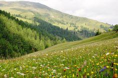 Blumenwiese - @biosphaerenpark nockberge Nockalmstrasse Kärnten Biosphärenreservat Sommer