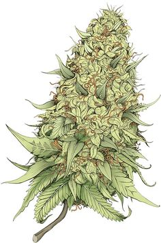 Growing marijuana from clones is one of the ways to grow marijuana. Cloning cannabis is a faster and more effective way of growing identical buds produced from one mother plant. This grow journal chronicles a grower's first attempt in growing cannabis. Marijuana Plants, Cannabis Plant, Medical Marijuana, Weed Tattoo, Weed Buds, Pirate Tattoo, Tattoo Ideas, Hemp