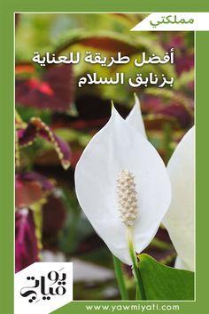 من أجمل النباتات المزهرة، وأكثرها ملاءمة لداخل المنزل، زنابق السلام Peace Lillies المعروفة أيضاً باسم الأشرعة البيضاء.