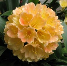 Clivia- I have three of these plants in my garden- they bloom early March