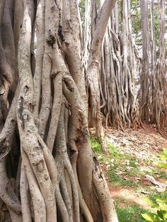 305 best trees images on pinterest nature plant and trees roots of big banyan tree fandeluxe Choice Image