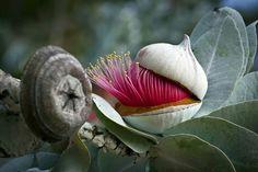 Eucalyptus Macrocarpta
