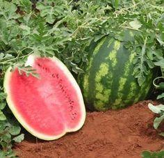 Como plantar melancia. A melancia é considerada uma das frutas do verão, por ser muito refrescante e conter grande quantidade de água - 92% da melancia é água. Além de não conter gordura, a melancia apresenta várias proprie...