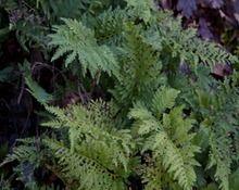 Polypodium vulgare 'Cornubiense'