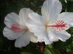 Hawaii Flower - The Beautiful White Hibiscus. It can be found on Kauai, Oahu, Maui and The Big Island.