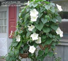 White Night blooming plant - Moonflower vine (I love this one!)