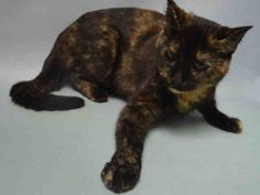 """GRACE -  A1055558 - - Brooklyn  ***TO BE DESTROYED 11/13/15 *** A volunteer writes: Grace is full of grace. A lovely little kitty, she is a serene and beautiful tortoiseshell with soft eyes that somehow convince you that she knows everything about you. It's like you're old friends with her. Grace is graceful, gracious and the purr-fect charmer to grace your home and your life….WHAT DO YOU SAY?? EVERYONE NEEDS A LITTLE """"GRACE"""" IN THEIR LIFE?? APPLY TO F"""