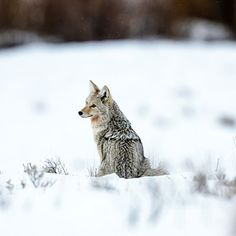 Gray wolves, Yellowstone National Park | Best Wildlife Viewing