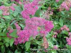 Close up of Spirea 'Froebelli' flowers..
