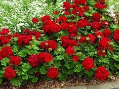 Αποτέλεσμα εικόνας για geraniums