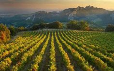 Vinyards of Provence.
