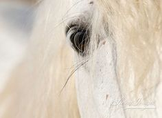Camargue Stallion's Eye  Fine Art Horse Photograph by Carol Walker