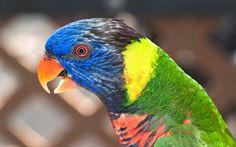 rainbow lorikeet pictures for desktop - rainbow lorikeet category
