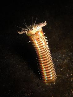 Fearsome bobbit worm which could tear fish to pieces. notice lovely opalescence