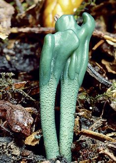 Microglossum Viride Mushrooms, photographed in Mendocino, Calif ~ By Taylor Lockwood