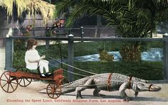 Vintage postcard an alligator giving a little girl a ride in a cart at a California Aliigator Farm in Los Angeles. Vintage Cards, Vintage Postcards, Strange Beasts, Antique Photos, Victorian Photos, Antique Art, Vintage Photographs, Los Angeles California, Old Antiques