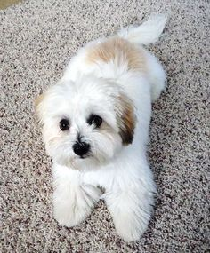coton de tulear full grown puppy cut - Google Search
