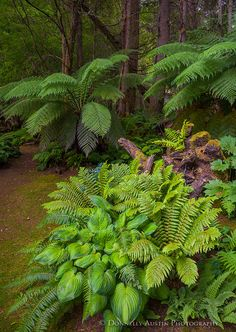 Vashon Island, WA: Hostas and ferns on the edge of the pathway of the Stumpery Garden with tree ferns (Dicksonia antarctica) and alder trees in the forest background Shade Tolerant Plants, Shade Plants, Ferns Garden, Shade Garden, Landscape Design, Garden Design, Woodland Garden, Tropical Garden, Outdoor Plants