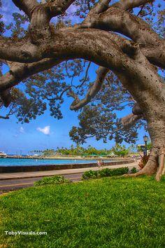 Banyan tree on Aliʻi Drive, Kailua Kona, Big Island of Hawaiʻi. This beautiful tree marks the entrance to the Kona Banyan Court, where you will find one of the best restaurants in town, Rapanui Island Cafe!