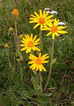 European Arnica - Famous Swiss herb used externally for bruises, burns and inflammations.