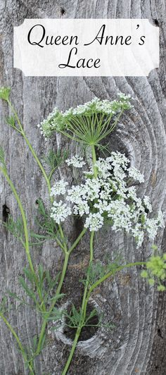 Queen Anne's Lace pretty for the rustic wildflower look. comes in white and green Types Of Flowers, Love Flowers, Colorful Flowers, Wild Flowers, Beautiful Flowers, Wedding Flowers, Floral Design Classes, Flower Names, Queen Annes Lace