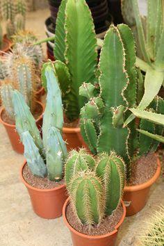 Cactus Plants, Succulents, Gardens, Flowers, Beautiful Images, Cacti, Outdoor Gardens, Cactus, Succulent Plants